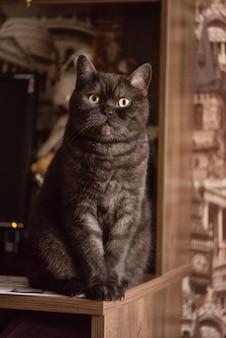 Grappige zwarte schotse rechte kat zit op tafel