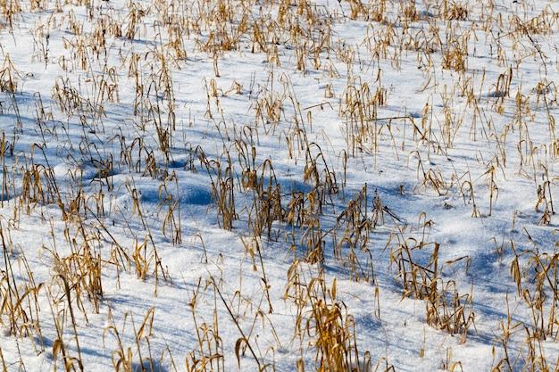 Gras en sneeuw in de winter, sneeuw die viel tijdens een sneeuwval en droog gras, sneeuwval in de winter en witte pluizige koude sneeuw en gras