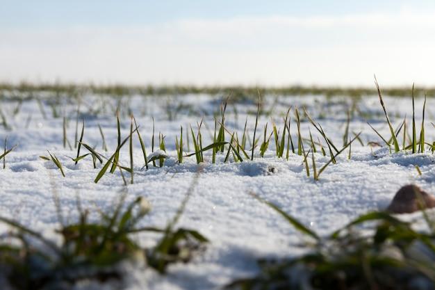Gras en sneeuw in de winter