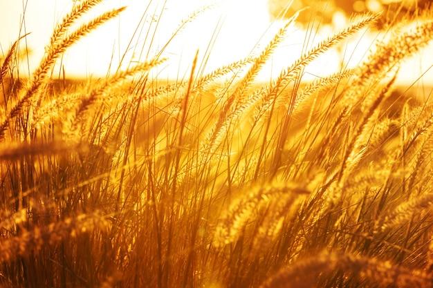 Gras in een weiland bij zonsondergang