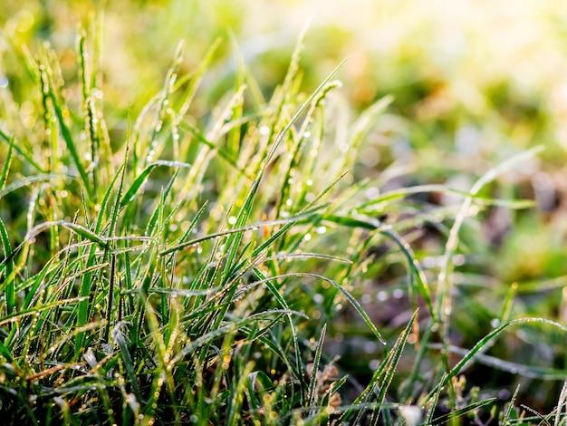 Gras met dauw druppels in de ochtend tijdens zonsopgang