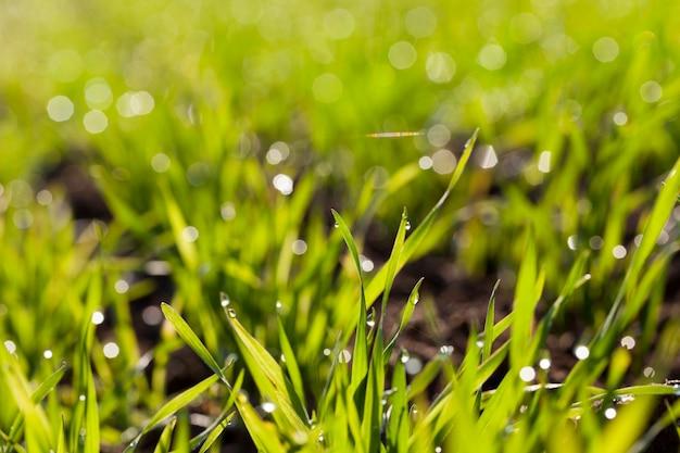 Gras met waterdruppels als gevolg van de stralen van de zon
