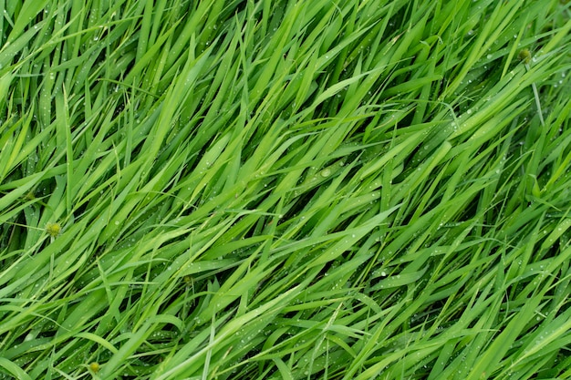 Gras van textuurachtergrond.