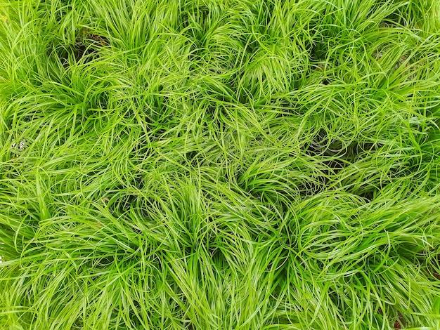 Gras voor katten in een plantenwinkel