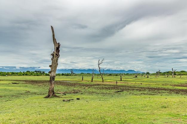 Graslandschap op sri lanka-reservering met dode boomstelen