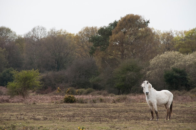 Gray new forest pony roaming gratis