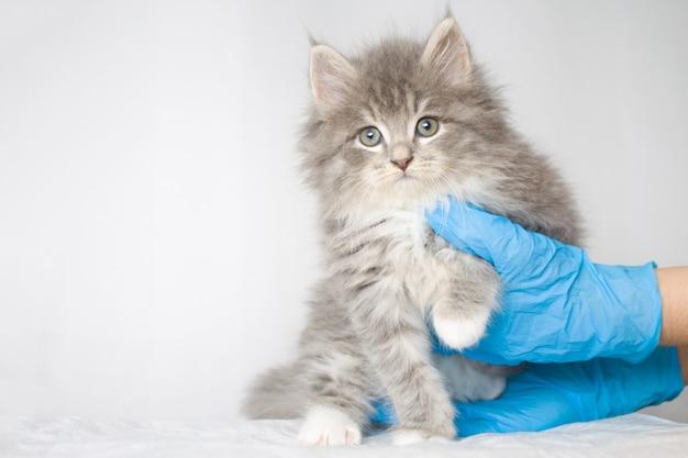 Gray persian weinig pluizige maine-wasbeer kitte bij dierenartskliniek en dient blauwe handschoenen in