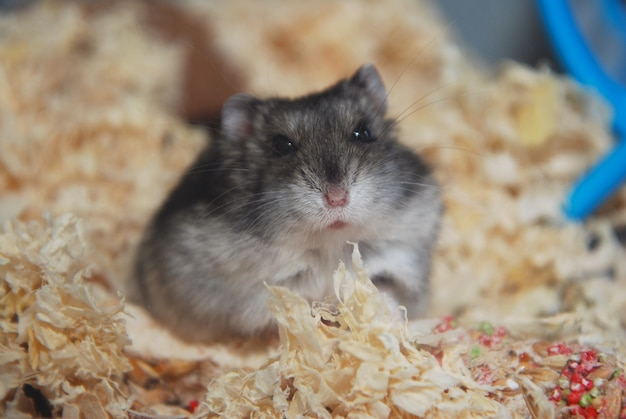 Gray pet hamster in glass aquarium close-up huisdier
