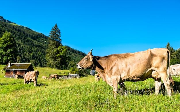 Grazende koeien in de zwitserse alpen