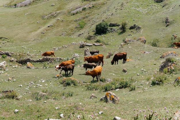 Grazende koeien op prachtige hooggelegen weilanden. agrarische industrie.