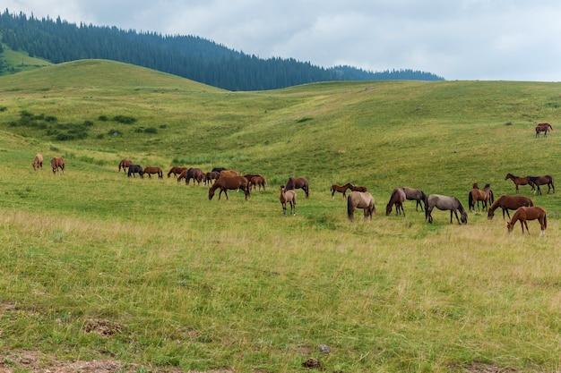 Grazende kuddes paarden van plateau assy kazachstan, trans-ili alatau, natuurplateau assy kazachstan