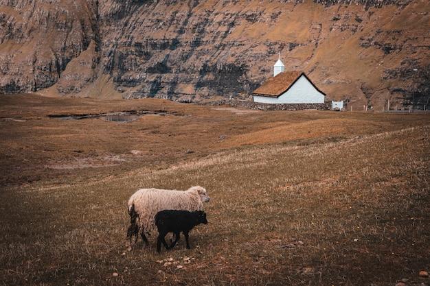Grazende schapen in het dorp si saksun op de faeröer