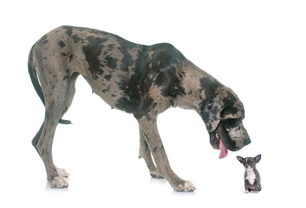 Great dane en puppy chihuahua