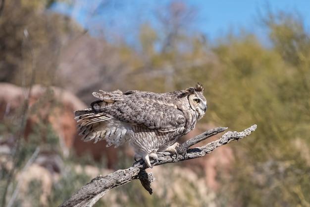 Great-horned owl op een winderige dag in de woestijn van arizona