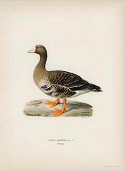 Greater white-fronted goose (anser albifrons), geïllustreerd door de gebroeders von wright.
