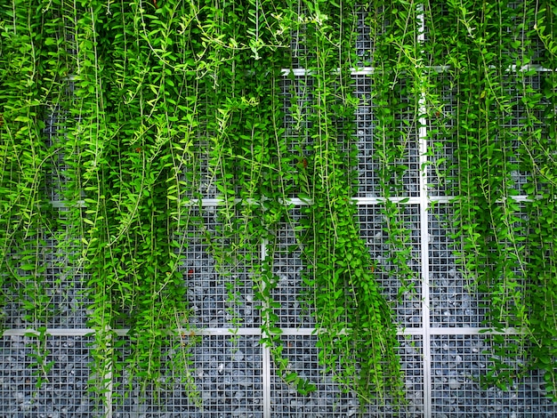 Green climbing ivy hanging on wire mesh wall