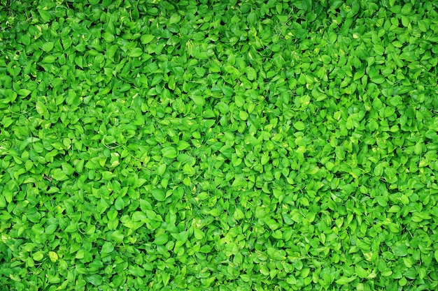 Green devil's ivy plant met waterdruppels na het besproeien