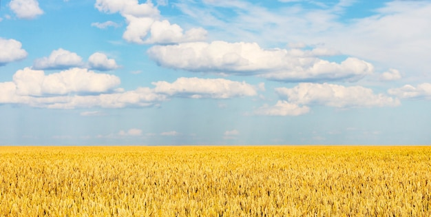 Grenzeloze graanveld op een zonnige dag
