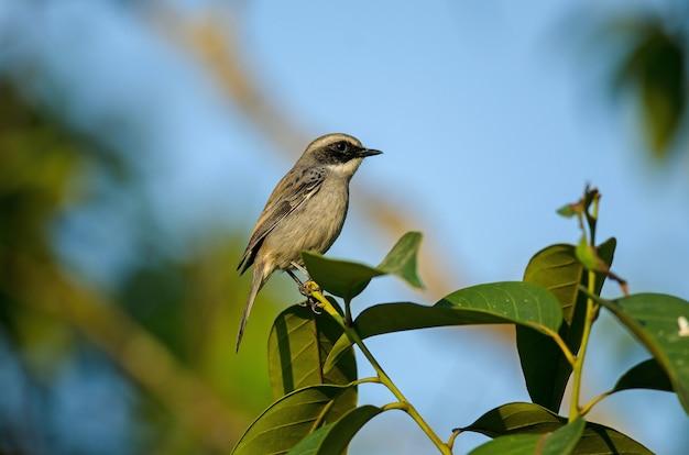 Grey bushchat (saxicola-ferreus) vogel