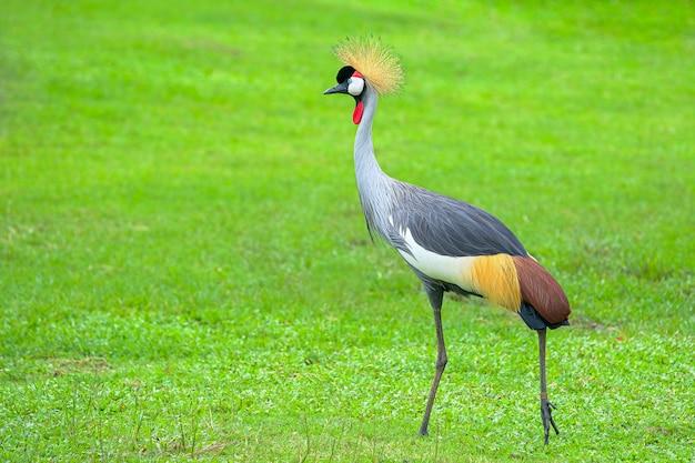 Grey crowned crane (balearica regulorum) loopt op het gras
