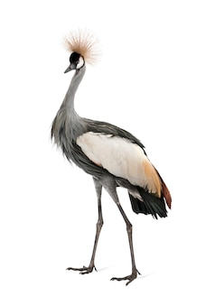 Grey crowned crane - balearica-regulorum op een geïsoleerd wit