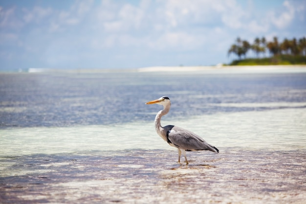 Grey heron staat op het strand op het eiland van de maldiven