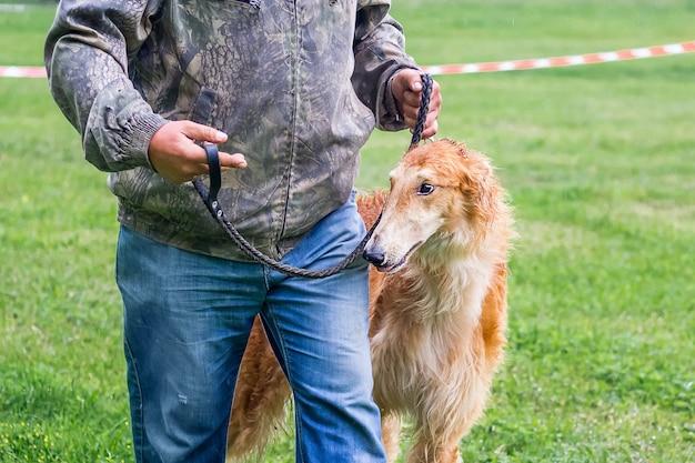 Greyhound hond aangelijnd in de buurt van zijn meester op een tentoonstelling van jachthonden. portret van windhondclose-up