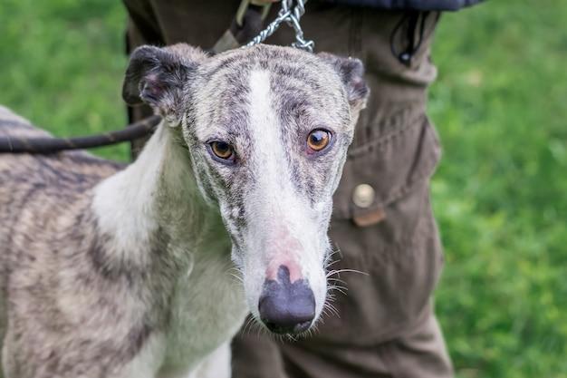 Greyhound hond aangelijnd in de buurt van zijn meester. portret van greyhound close-up_