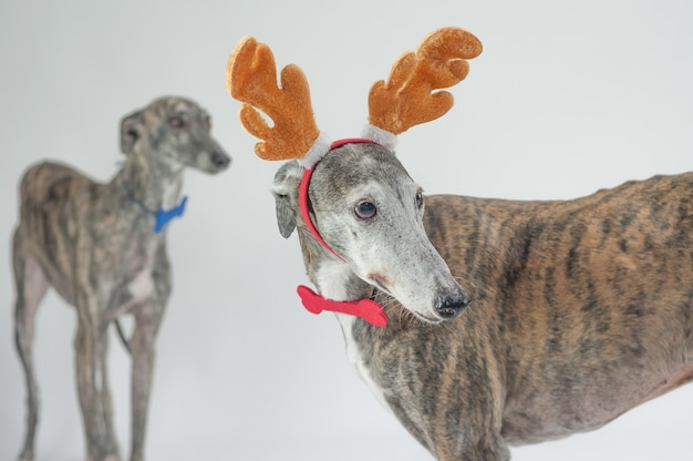 Greyhound honden kerst jurk