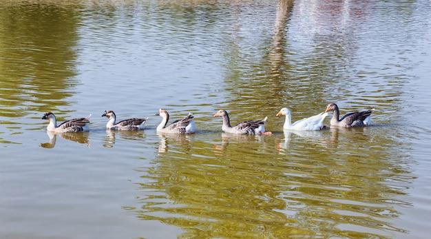 Greylag ganzen die in rij in het meer zwemmen