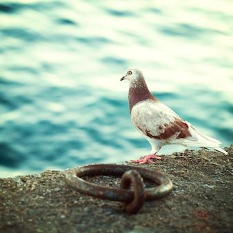 Griekse duif op de boulevard op kreta, impressies van griekenland