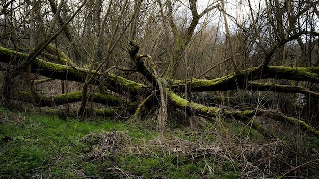 Griezelig landschap in een bos met droge boomtakken bedekt met mos