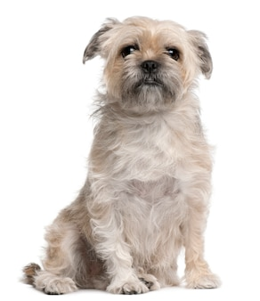 Griffon bruxellois, 4 jaar oud. geïsoleerd hondportret