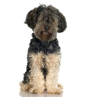 Griffon met 4 jaar. geïsoleerd hondportret
