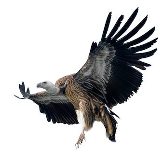 Griffon vulture - gyps-fulvus op wit wordt geïsoleerd dat