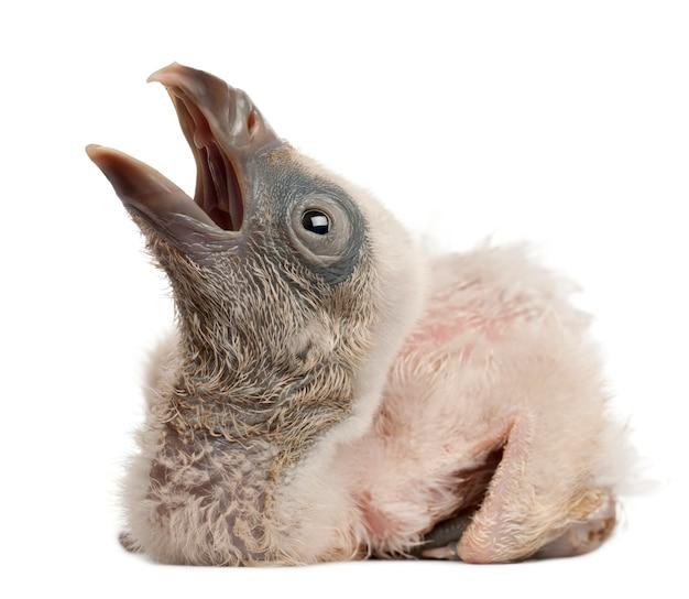 Griffon vulture gyps-fulvus voor witte achtergrond