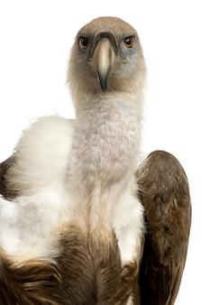 Griffon vulture - gyps-fulvus vooraan op een geïsoleerd wit