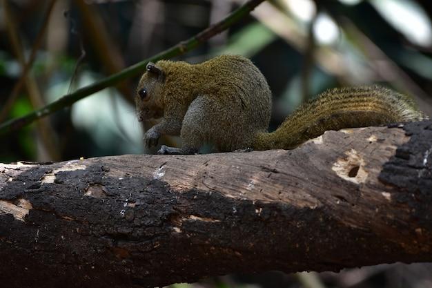 Grijs-doen zwellen eekhoorn in het bos