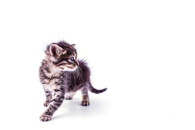 Grijs gestreept katje met blauwe ogen. geïsoleerd wit