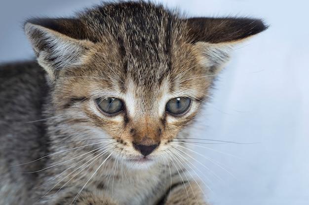 Grijs gestreepte kitten op een witte achtergrond, klein roofdier,