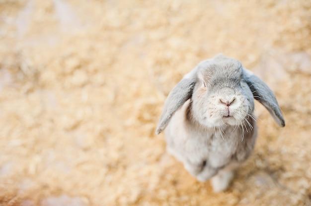 Grijs konijn in contactdierentuin. grappig konijn.