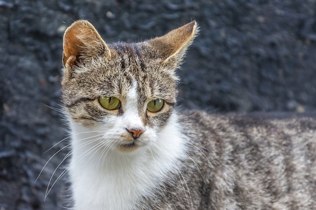Grijs met een witte vlek van kat op een donkere achtergrond