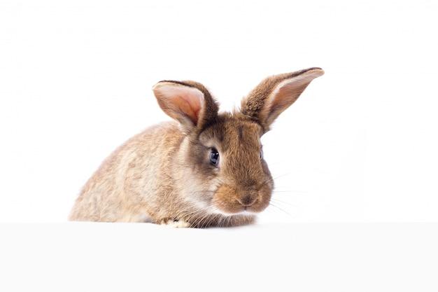 Grijs pluizig konijn die het uithangbord bekijken. geïsoleerd op witte achtergrond paashaas
