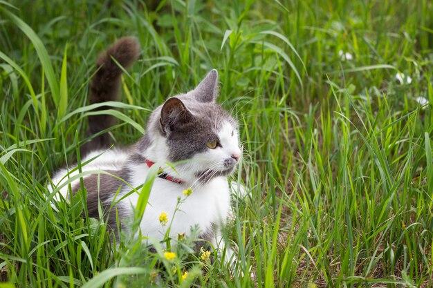 Grijs-witte kat op groen gras spelen kat in de zomer