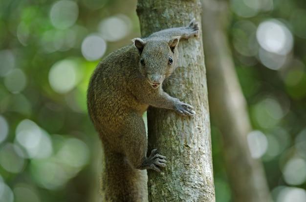 Grijsbuikende eekhoorn in bos