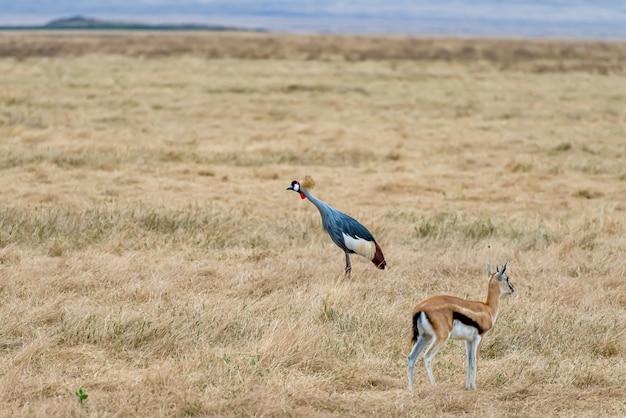 Grijsgekroonde kraanvogel en een springbok die op de grond staan, bedekt met het gras onder het zonlicht