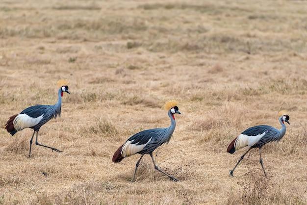 Grijsgekroonde kraanvogels die door een veld lopen dat in het zonlicht onder het gras ligt