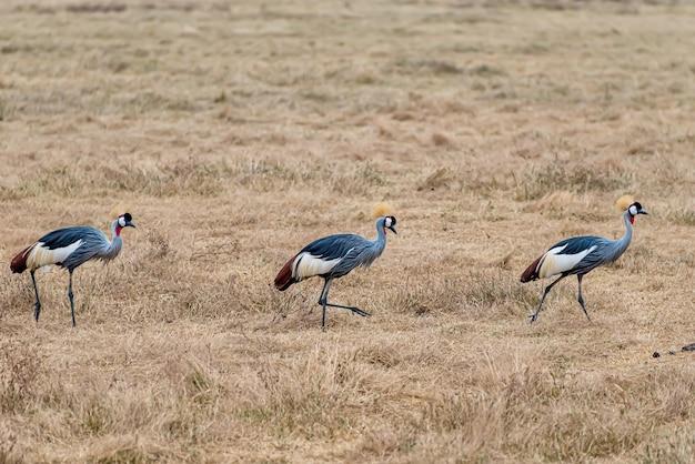 Grijskroonkraanvogels lopen door een veld dat in het zonlicht onder het gras ligt