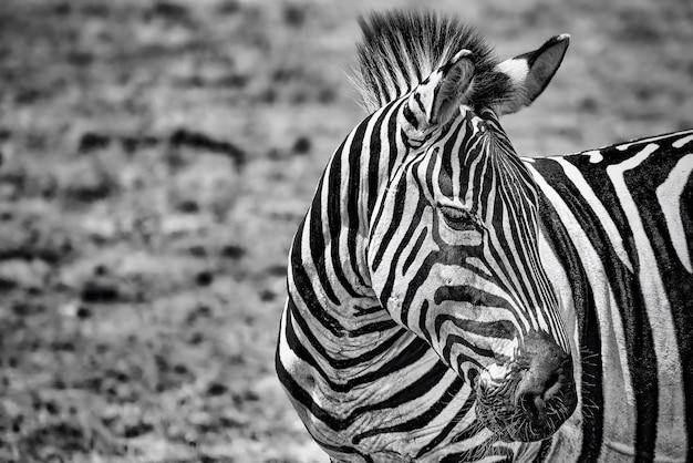 Grijstinten close-up van een zebra in een veld onder het zonlicht