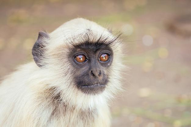 Grijze aap in jaipur